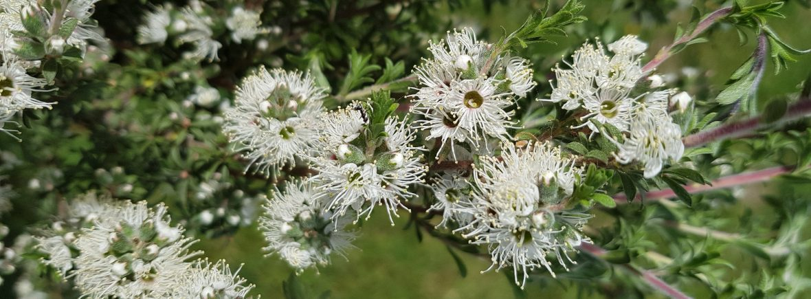 Kunzea in flower