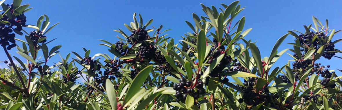 Tasmanian pepperberry against sky