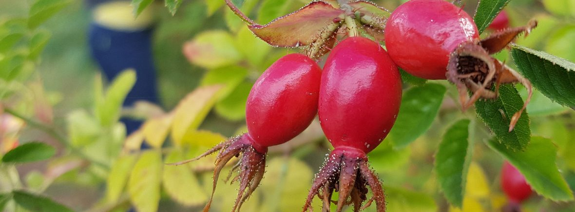 Close up of wild Rosehips